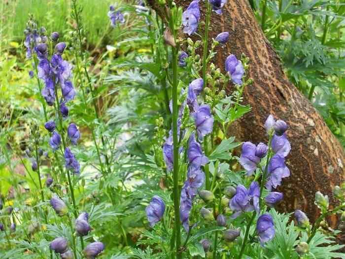Обриета: посадка и уход в открытом грунте, выращивание из семян