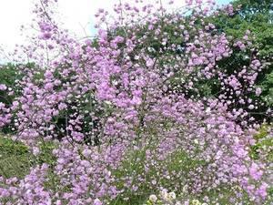 Василистник – виды, сорта, посадка и уход в открытом грунте