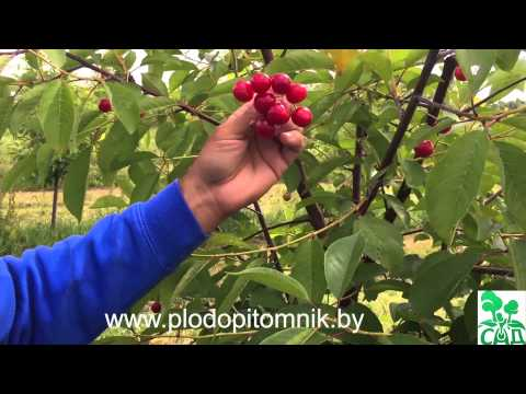 Сорта черешни для сибири и дальнего востока – подбор и выращивание
