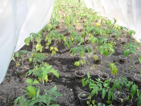 Белеют листья у рассады помидор: причины, способы лечения и возможные последствия для урожайности (115 фото)