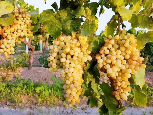 Виноград мускат белый: характеристика и описание сорта