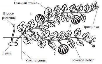 Формирование тыквы в открытом грунте: когда начинать и как правильно прищипывать