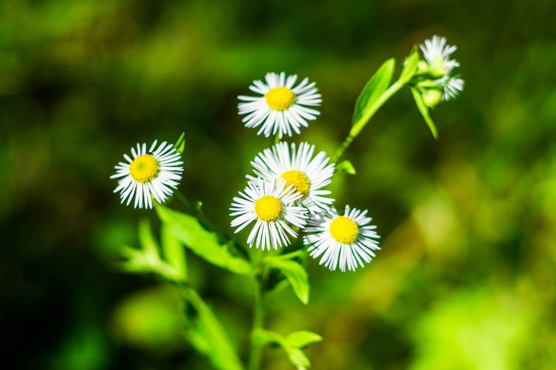 Садовые ромашки и похожие на них цветы
