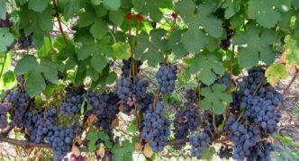 Обзор раннеспелого сорта винограда кодрянка