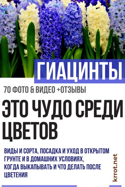 Гиацинт после цветения - как помочь растению перезимовать?