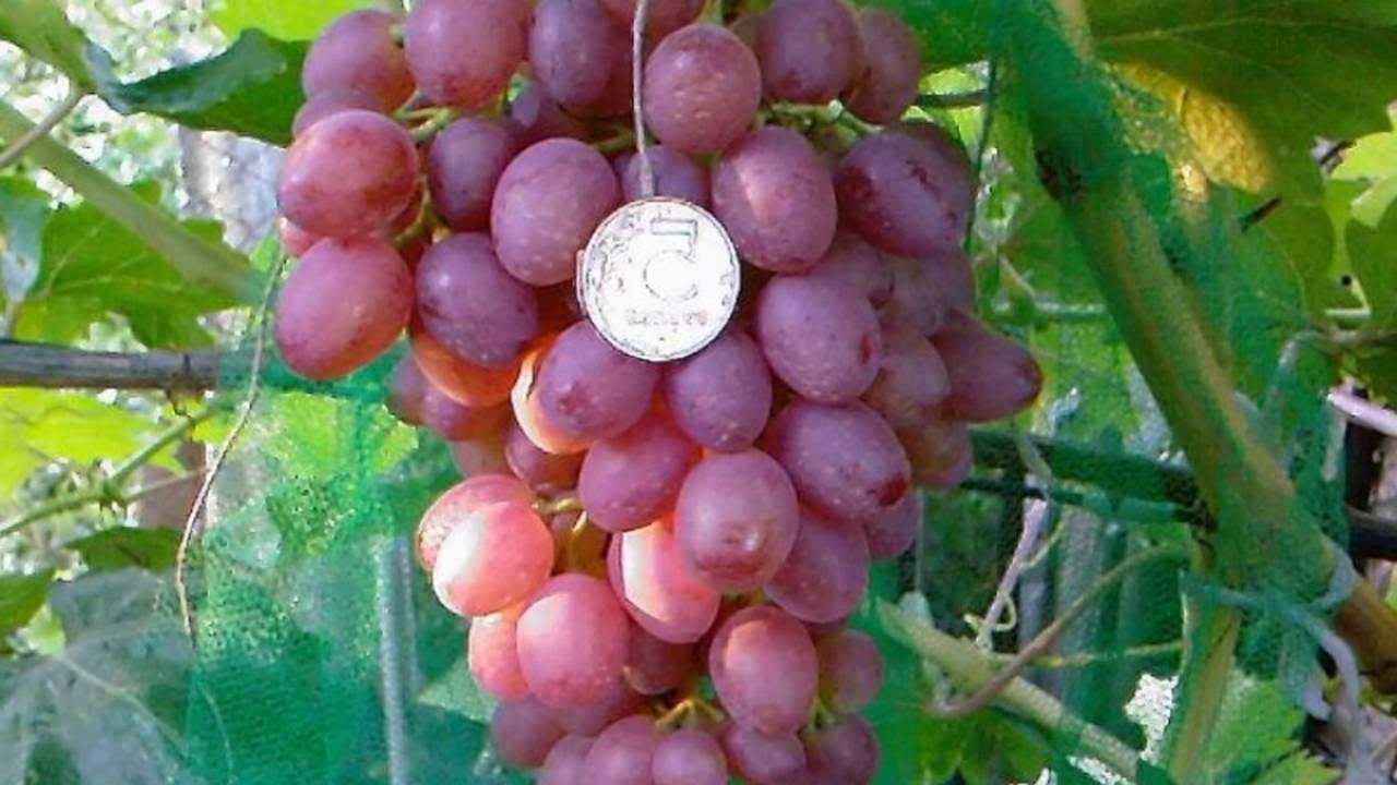 Виноград кардинал: описание, посадка и уход