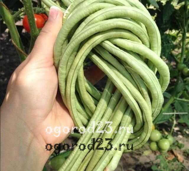 Фасоль вигна выращивание. фасоль вигна. интересный и полезный овощ.