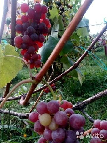 Эйнсет сидлис — виноград