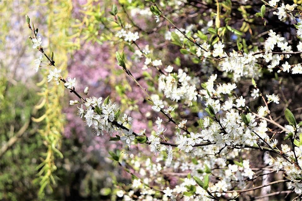 Особенности посадки и ухода за яблоней сорта «имант»