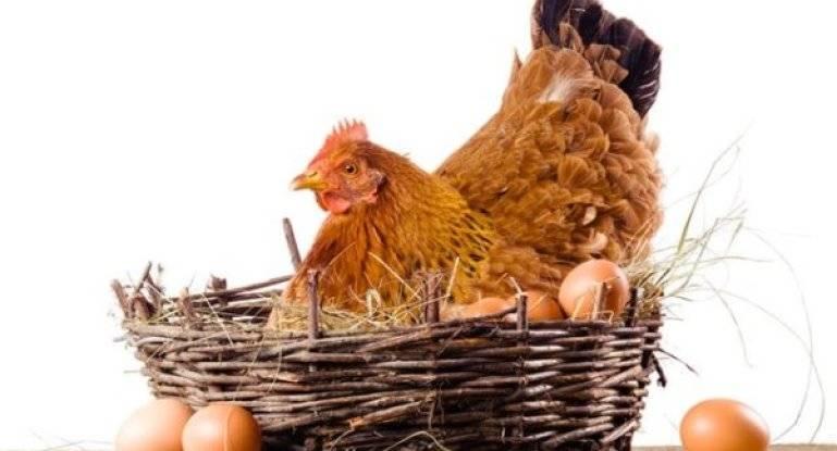 Садим курицу на яйца: школа идеальной наседки