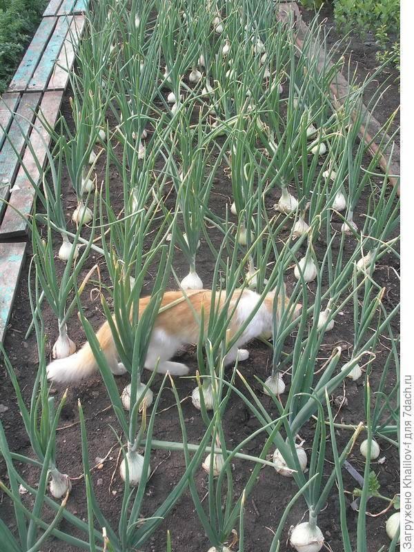 """Самое важное о выращивании лука """"эксибишен"""" из семян, через рассаду и севок"""