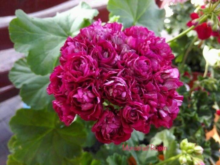Уход за лучшими сортами розебудной пеларгонии