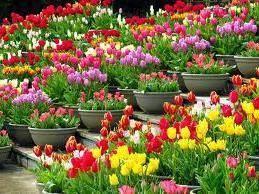 Когда сажать тюльпаны? когда сажать тюльпаны под зиму