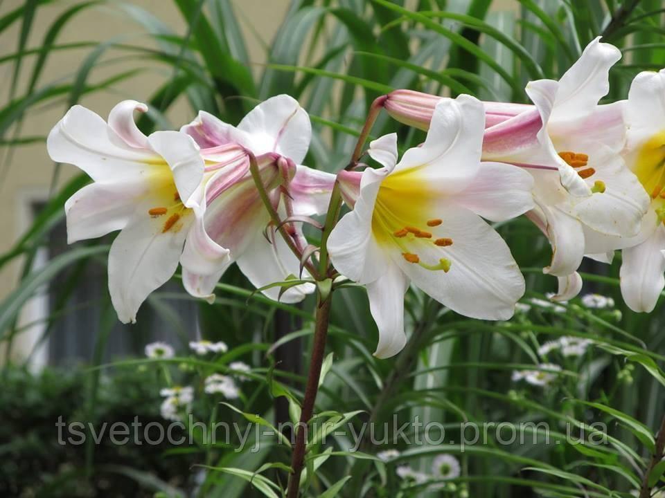 Лилия королевская (36 фото): описание цветка регале или царственная. как выглядит китайская лилия? названия белых и желтых сортов, посадка и уход
