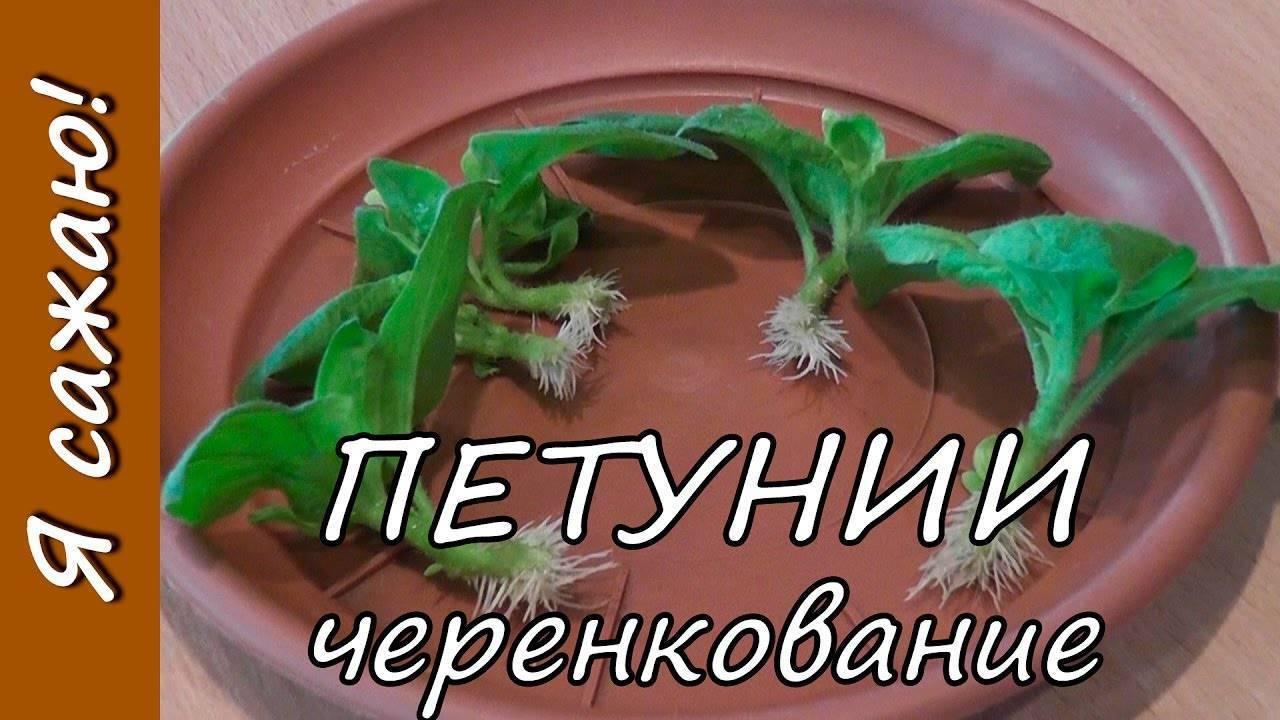 Черенкование петунии в домашних условиях: пошаговые советы с фото и видео