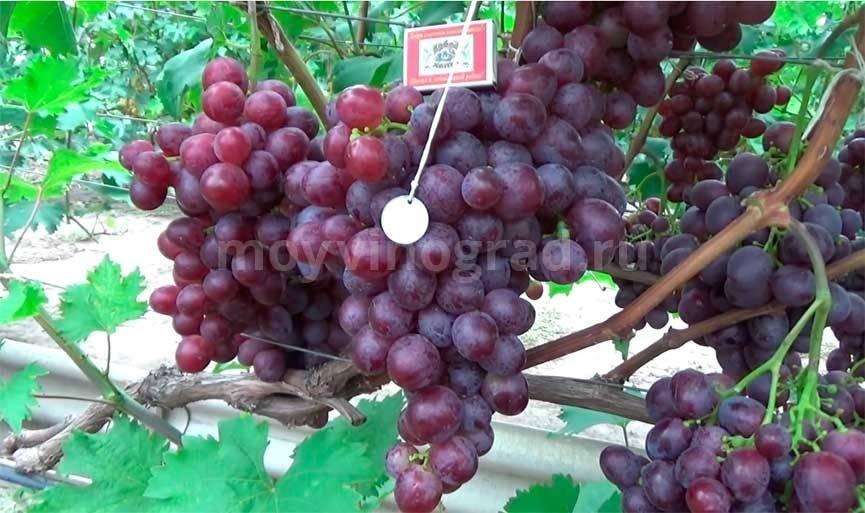 Виноград низина: характеристика и описание сорта, посадка и уход