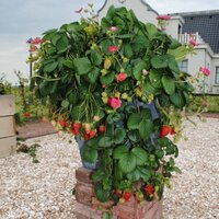 Садовая земляника (клубника) азия — описание, характеристика сорта и особенности ухода