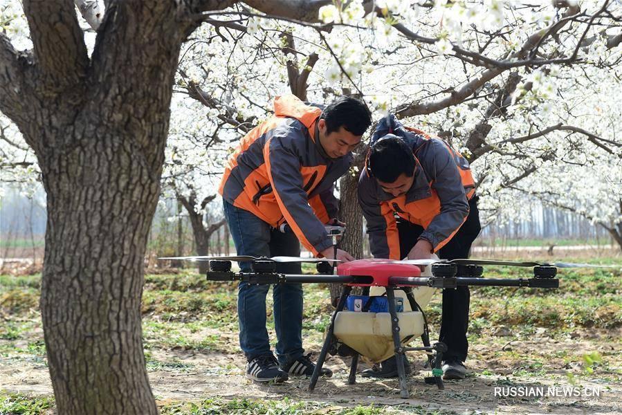 Как опылить грушу: искусственный способ опыления, самоопыляемые сорта