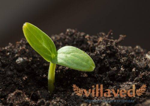 Как замочить семена томатов перед посадкой на рассаду