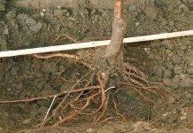 Как посадить саженец яблони весной?