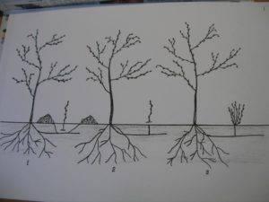 Как избавиться от вишневой поросли — эффективные способы