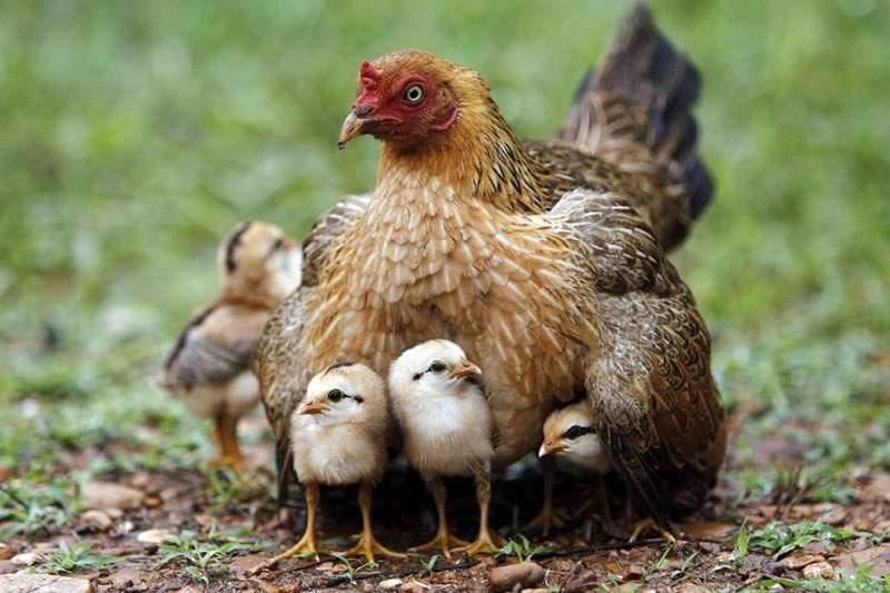 Курица наседка — вывод цыплят в домашних условиях