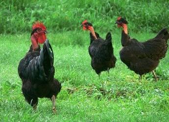 Выращивание голошейной породы кур