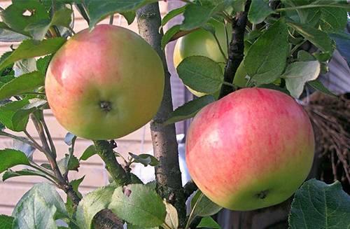 Колонновидная яблоня «васюган»: описание сорта, фото и отзывы