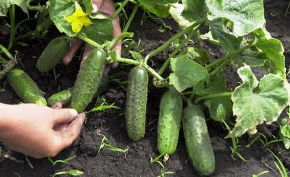 Самоопыляемые сорта огурцов для теплицы: лучшие ранние сорта