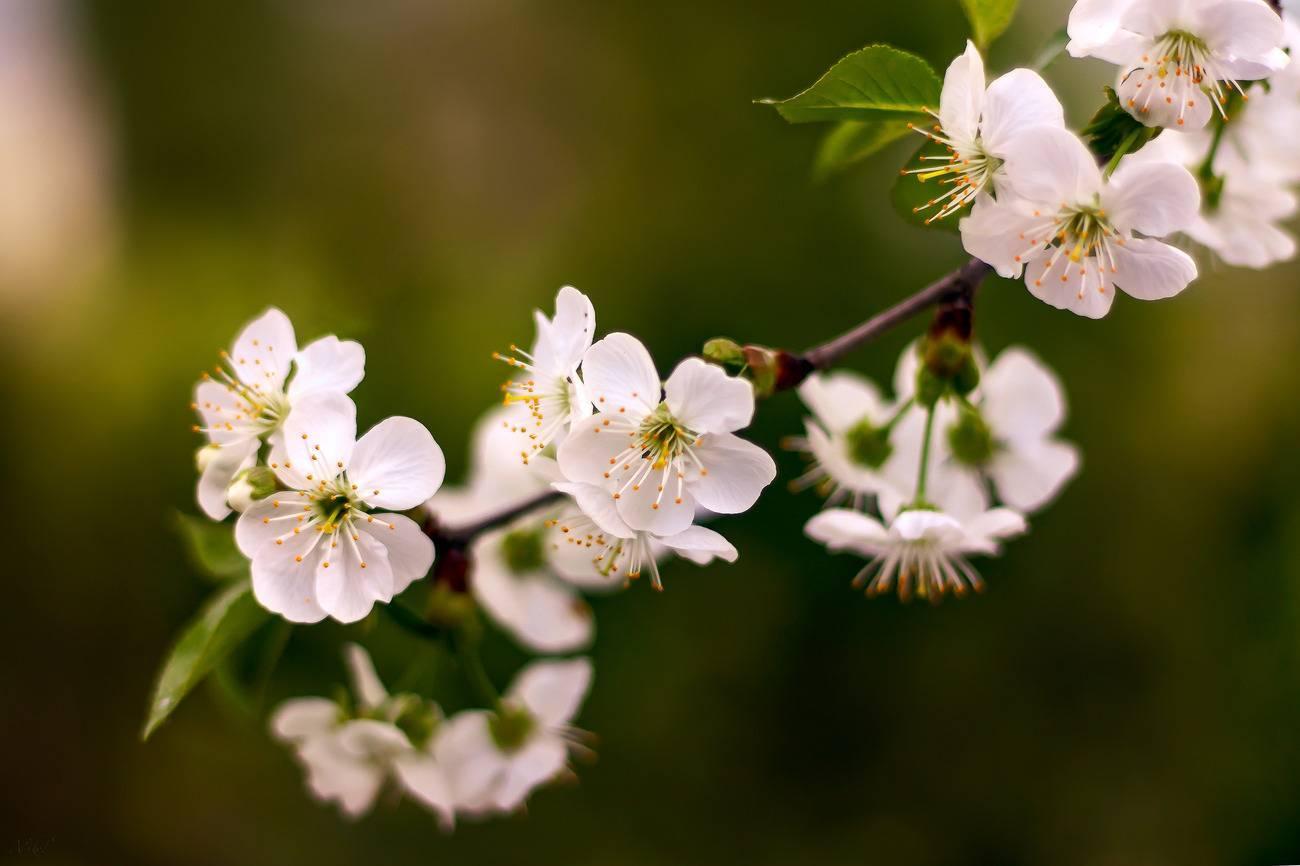 Особенности продолжительности жизни вишни