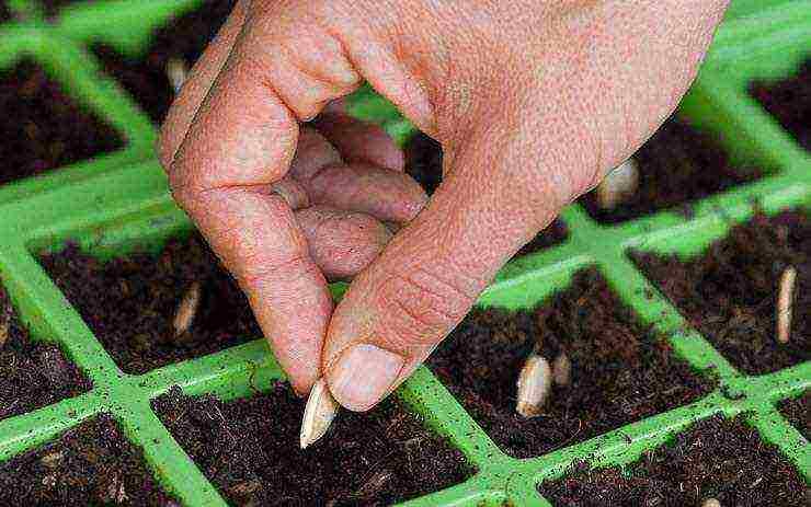 Замачивание семян кабачков перед посадкой
