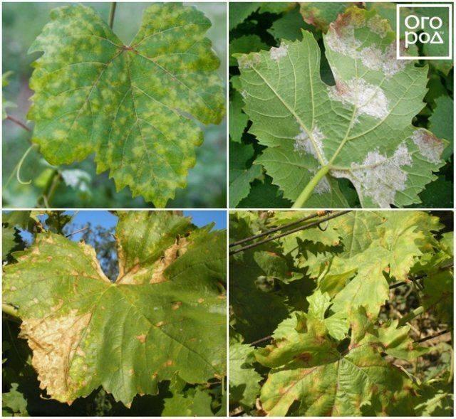 Почему сохнет виноград и как с этим бороться?