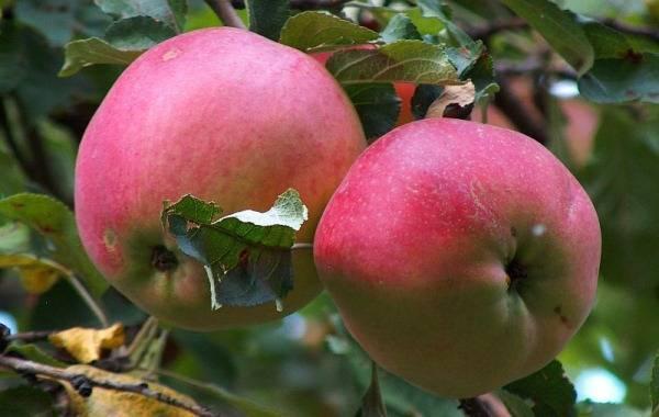 Описание яблони сорта апорт: характеристики, фото, отзывы садоводов