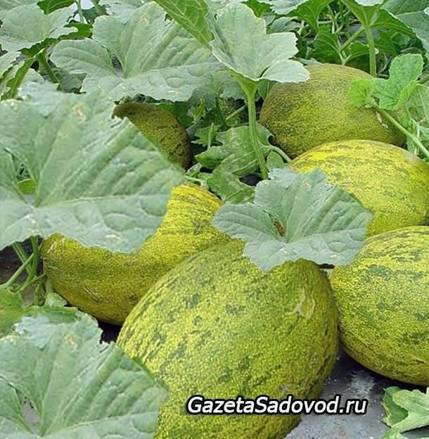 Как вырастить арбуз в теплице — советы для хорошего урожая.
