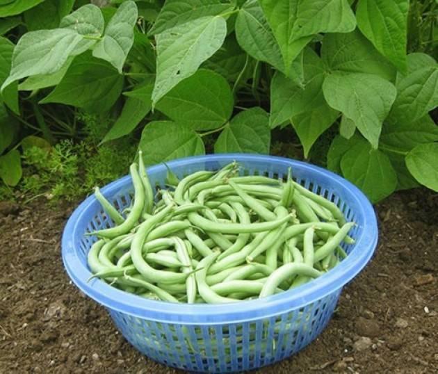 Фасоль стручковая: выращивание и уход, подробная информация и советы