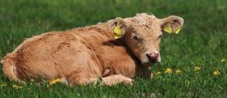 Лечение копытной гнили у коров