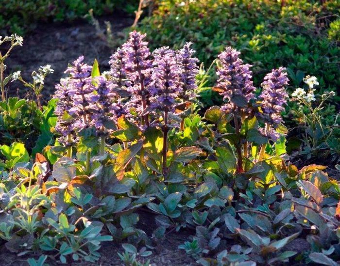 Растение живучка ползучая: фото, описание травы, свойства и применение