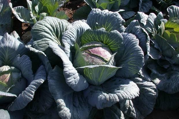 Описание сорта капусты «амагер» и отзывы огородников