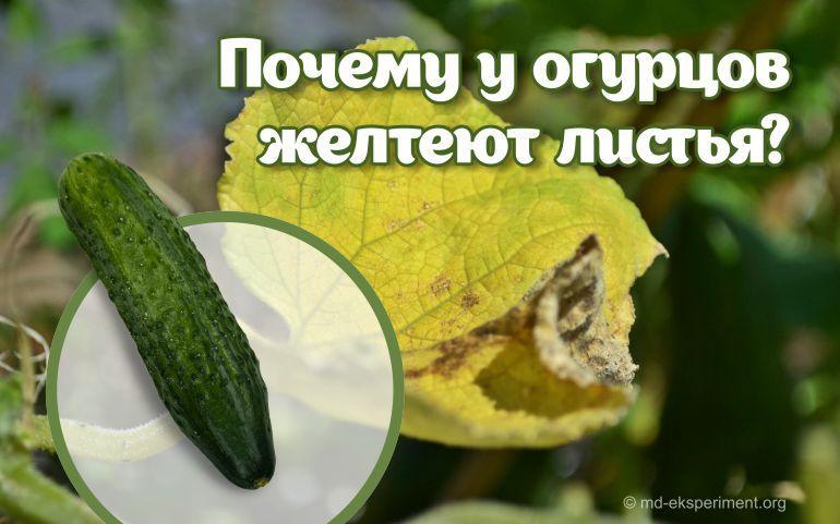 Почему желтеют листья у огурцов и как с этим бороться?