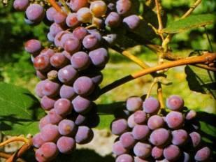 Виноград русский конкорд