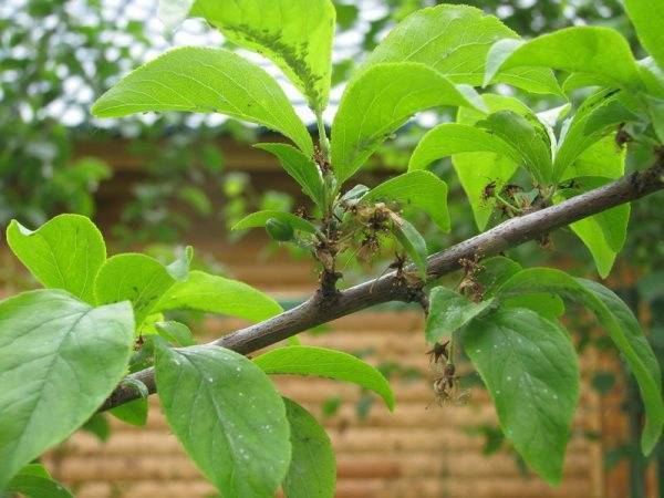 Чем обработать сливу от тли после цветения, после завязи плодов: лучшие средства