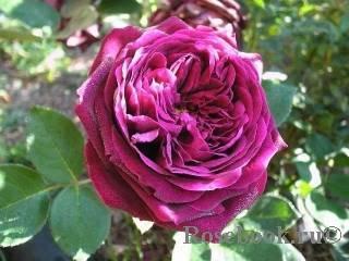 Чёрный принц: классический сорт чайно-гибридной розы
