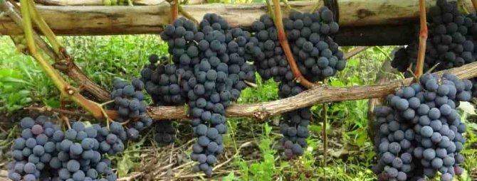 Виноград кишмиш аттика: описание раннеспелого сорта, отзывы и фото, посадка и уход
