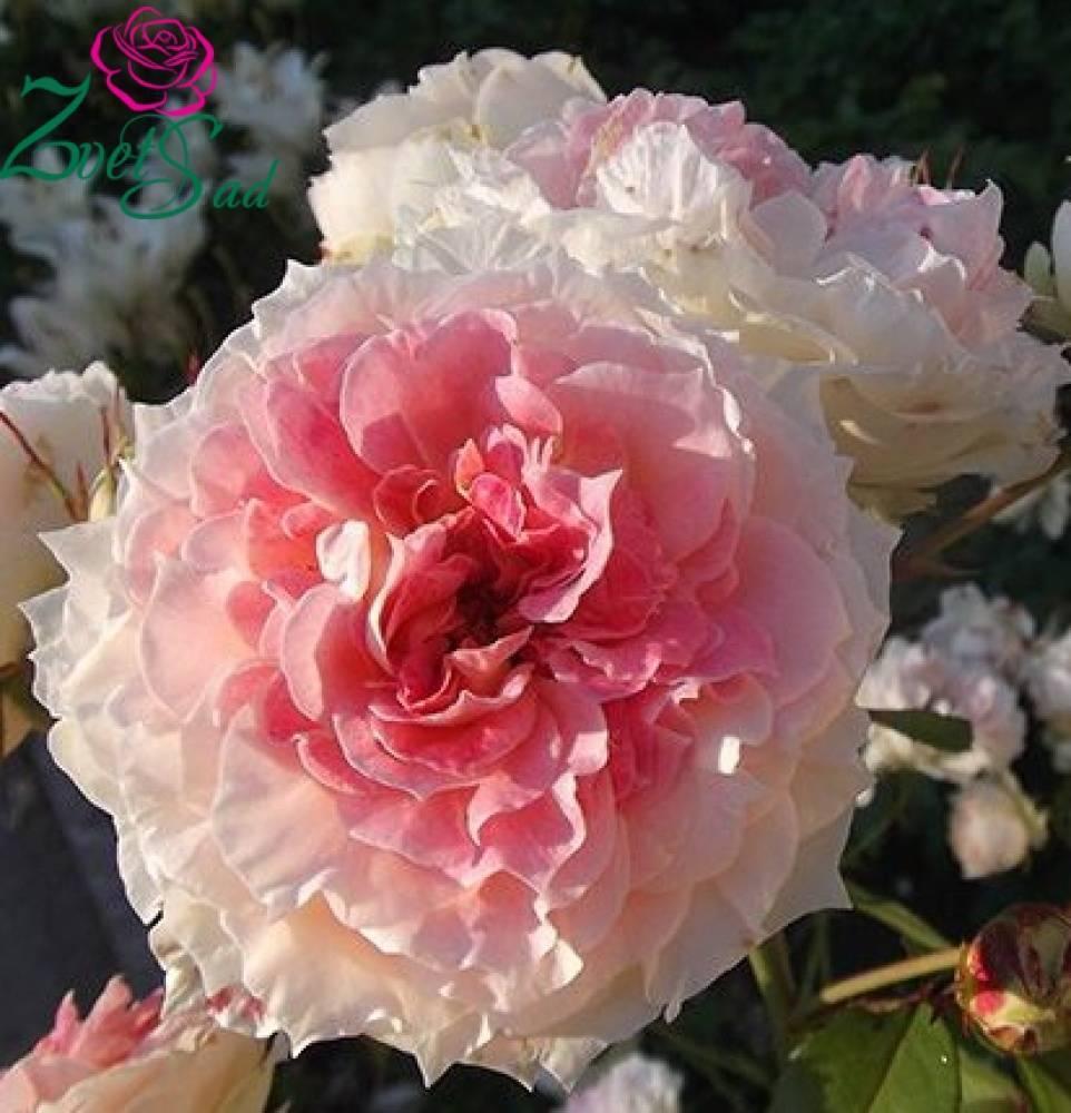 Советы по уходу за розой розариум ютерсен