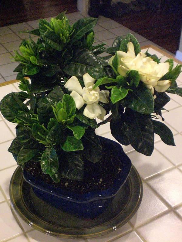 Гардения жасминовидная - уход в домашних условиях, советы для правильного выращивания