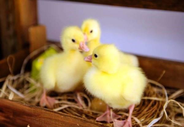 Кормление гусей в домашних условиях для начинающих: нормы и рацион питания