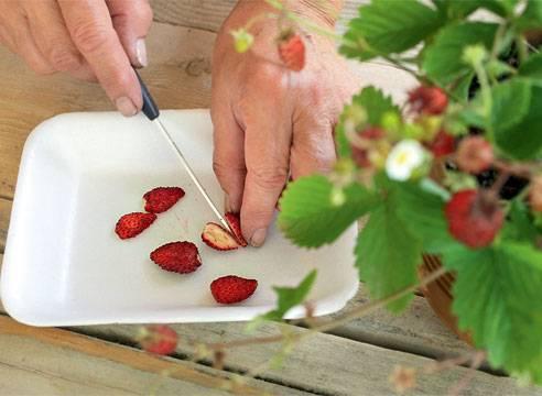 12 ключевых моментов при выращивании садовой земляники
