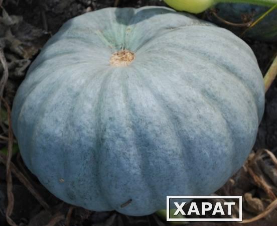 Описание и характеристика сортов тыквы для открытого грунта