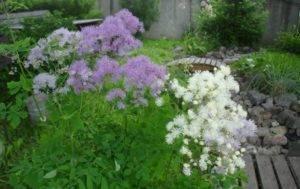 Василистник делавея, рохебрунский и желтый: посадка, уход и фото растения