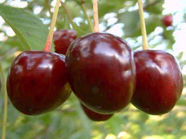 Описание сорта вишни чернокорка